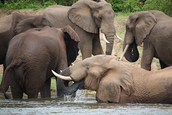 Elephants on the Zambezi River